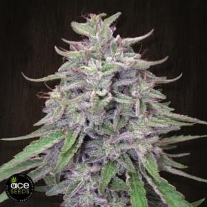 Bangi Haze Feminized Seeds (Ace Seeds)