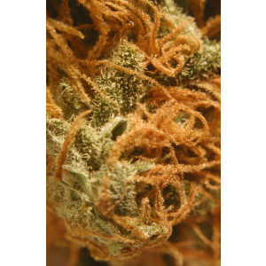 BC Cheese FEMINIZED Seeds (BC Bud Depot)