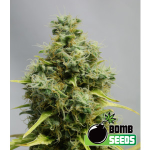 Big Bomb Feminized Seeds (Bomb Seeds)