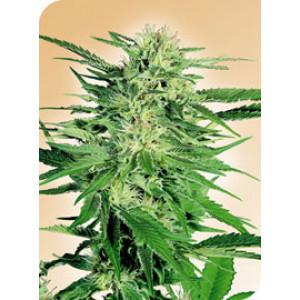 Big Bud REGULAR Seeds (Sensi Seeds)