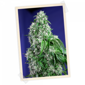 Big Devil FAST Version Feminized Seeds (Sweet Seeds)