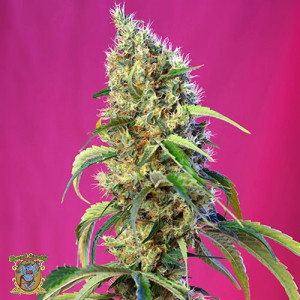 Black Jack CBD Feminized Seeds (Sweet Seeds)