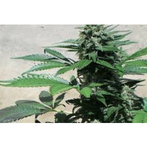 Blue Rhino Feminized Seeds (Positronics Seeds)