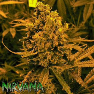Blueberry Kush AUTO FEMINIZED Seeds (Nirvana Seeds)