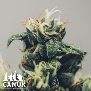 Blue Cheese Feminized Seeds (Canuk Seeds)