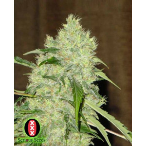 Bubble Gum Regular Seeds (Serious Seeds)