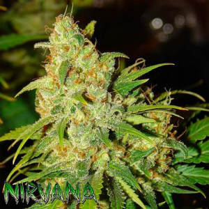 AUTO Bubblelicious FEMINIZED Seeds (Nirvana Seeds)
