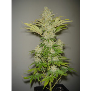 Bubblicious Feminized Seeds (Resin Seeds)