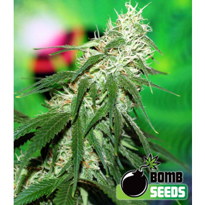 Buzz Bomb Feminized Seeds (Bomb Seeds)