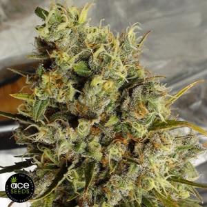 C5 Haze x Kali China Feminized Seeds (Ace Seeds)