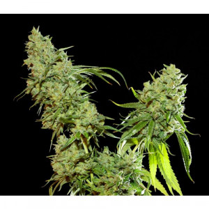 Cannatonic Feminized Seeds (Resin Seeds)