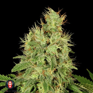 CBD Chronic FEMINIZED Seeds (Serious Seeds)