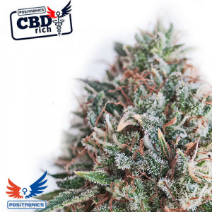CBD + Critical #47 FEMINIZED Seeds (Positronics Seeds)