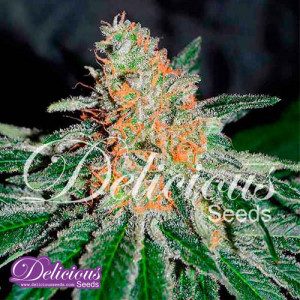 CBD Jam FEMINIZED Seeds (Delicious Seeds)