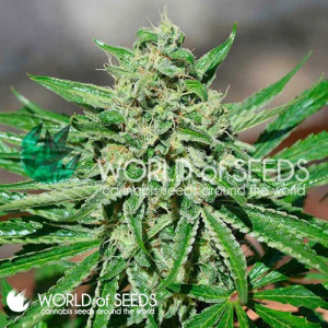 CBD Tonic Feminized Seeds (World of Seeds)