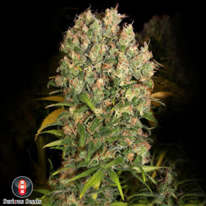 CBD - Enriched Warlock FEMINIZED Seeds (Serious Seeds)