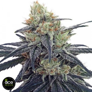 CBD #1 Feminized Seeds (Ace Seeds)
