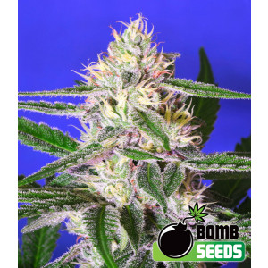 Cheese Bomb Feminized Seeds (Bomb Seeds)