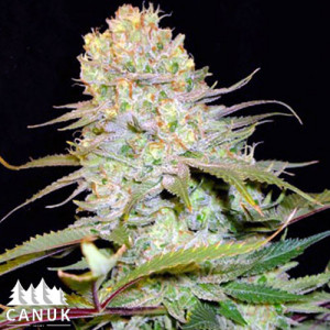 Cheese Feminized Seeds (Canuk Seeds)