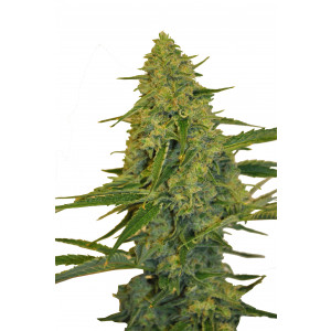 CBD Chem Dawg Feminized Seeds (CBD Botanic)