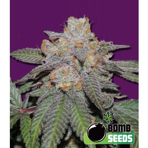 Cherry Bomb Autoflowering Feminized Seeds (Bomb Seeds)