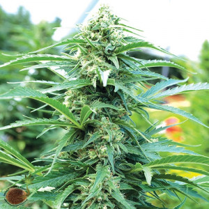 Cherry OG FEMINIZED Seeds (Emerald Triangle)
