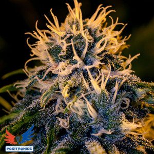 Chipza by Zatu FEMINIZED Seeds (Positronics Seeds)