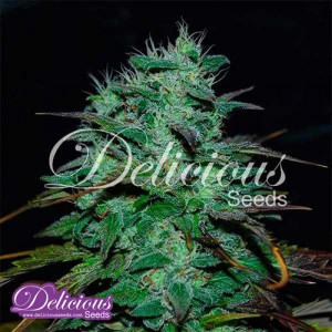 Chocobang FEMINIZED Seeds (Delicious Seeds)