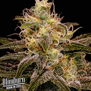 Chocolopez Feminized Seeds (BlimBurn Seeds)