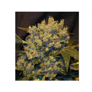 Chronic Feminized Seeds (Serious Seeds)