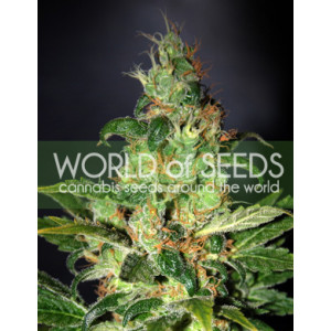 Chronic Haze Feminized Seeds (World Of Seeds)