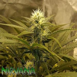 Chrystal REGULAR Seeds (Nirvana Seeds)