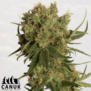 Coco Melon Feminized Seeds (Canuk Seeds) - ELITE STRAIN