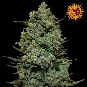 Cookies Kush Feminized Seeds (Barney's Farm)