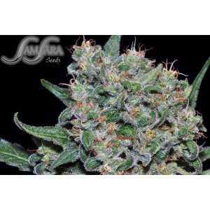Crazy Miss Hyde FEMINIZED Seeds (Samsara Seeds)