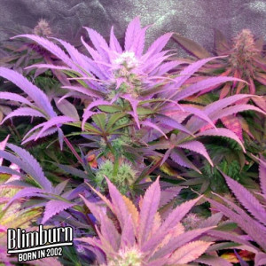 Cream Automatic Feminized Seeds (BlimBurn Seeds)