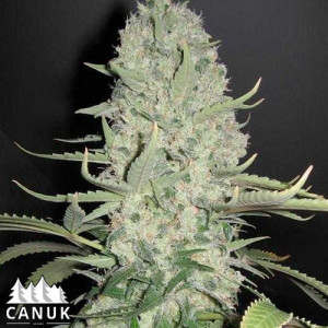 White Widow x Critical Feminized Seeds (Canuk Seeds)