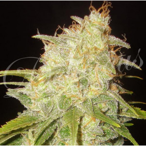 Critical Yumbolt FEMINIZED Seeds (Delicious Seeds)