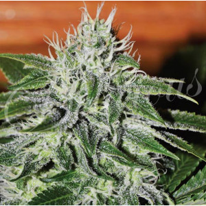Critical Jack Herer FEMINIZED Seeds (Delicious Seeds)
