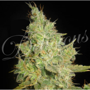Critical Kali Mist FEMINIZED Seeds (Delicious Seeds)