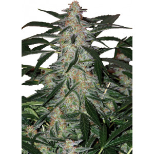Deimos Auto Feminized Seeds (Buddha Seeds)