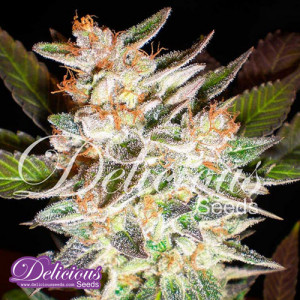 Delicious Candy AUTO FEMINIZED Seeds (Delicious Seeds)