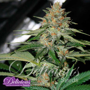 Delicious Candy FEMINIZED Seeds (Delicious Seeds)