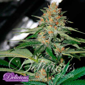 Delicious Candy Regular Seeds (Delicious Seeds)