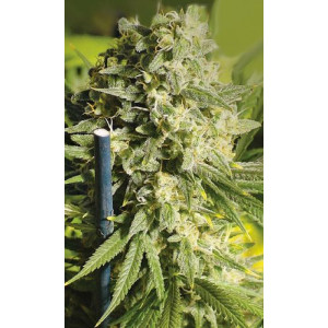 Double Dutch Feminized Seeds (Serious Seeds)