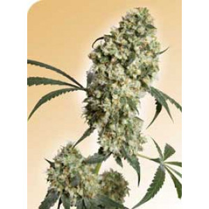Ed Rosenthal Superbud REGULAR Seeds (Sensi Seeds)