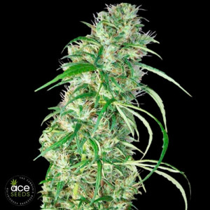 Ethiopia x Malawi Feminized Seeds (Ace Seeds) ***Only while supplies last***