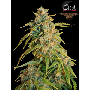Missing FEMINIZED Seeds (EVA Seeds)