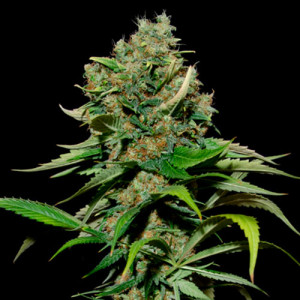 Excalibur FEMINIZED Seeds (EVA Seeds)