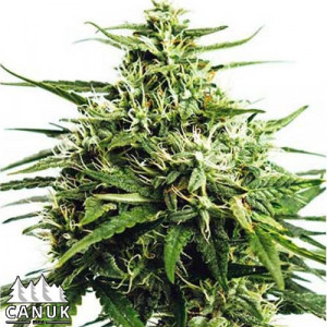 GG#4 Auto Feminized Seeds (Canuk Seeds)
